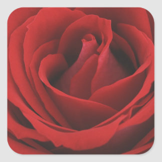 Blooming Red Rose Square Sticker