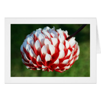 Blooming Red White Dahlia Fine Art Photography Card