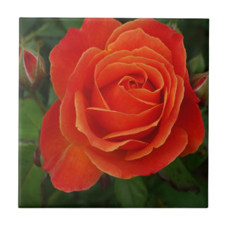 Blooming Rose Orange Red Tile