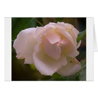 Blooming white Rose Card
