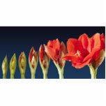 Blossoming Amaryllis Flower Photo Cutouts