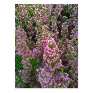 Blossoming Moorland Postcard