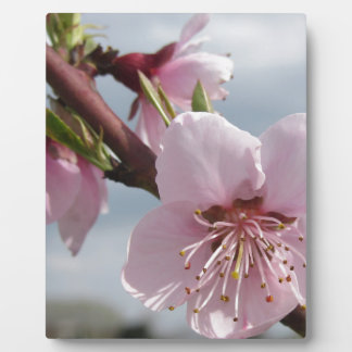 Blossoming peach tree against the cloudy sky plaque