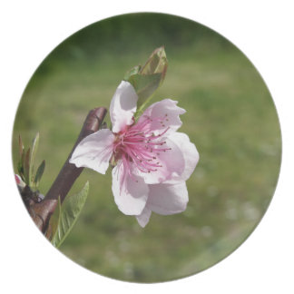 Blossoming peach tree against the green garden plate