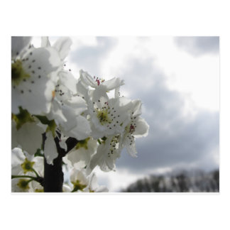 Blossoming pear tree against the cloudy sky postcard