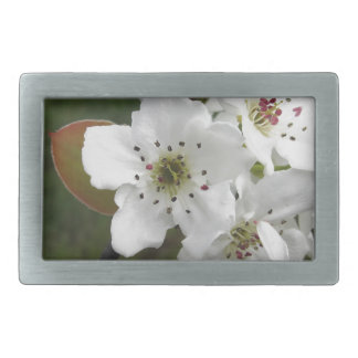 Blossoming pear tree against the green garden belt buckle