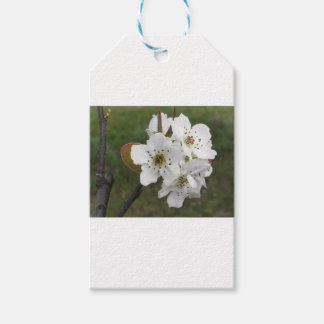 Blossoming pear tree against the green garden gift tags