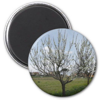 Blossoming pear tree in the garden  Tuscany, Italy 2 Inch Round Magnet