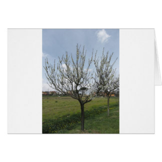 Blossoming pear tree in the garden  Tuscany, Italy Card
