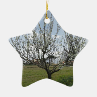 Blossoming pear tree in the garden  Tuscany, Italy Ceramic Star Ornament
