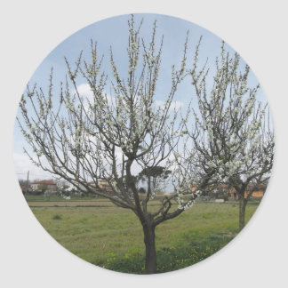 Blossoming pear tree in the garden  Tuscany, Italy Classic Round Sticker