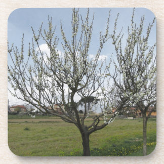 Blossoming pear tree in the garden  Tuscany, Italy Coaster
