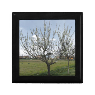 Blossoming pear tree in the garden  Tuscany, Italy Gift Box