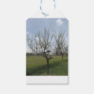 Blossoming pear tree in the garden  Tuscany, Italy Gift Tags
