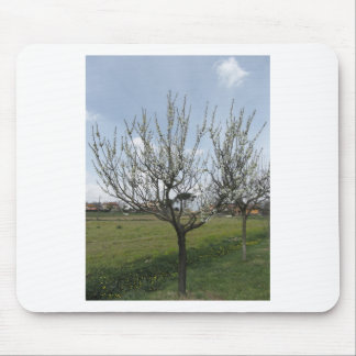Blossoming pear tree in the garden  Tuscany, Italy Mouse Pad