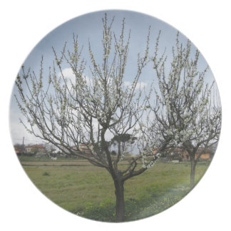 Blossoming pear tree in the garden  Tuscany, Italy Plate
