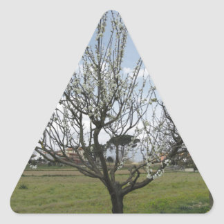 Blossoming pear tree in the garden  Tuscany, Italy Triangle Sticker