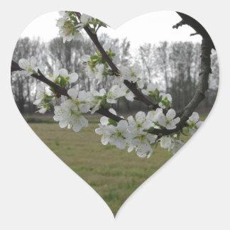 Blossoming plum . Flowering white tree in spring Heart Sticker