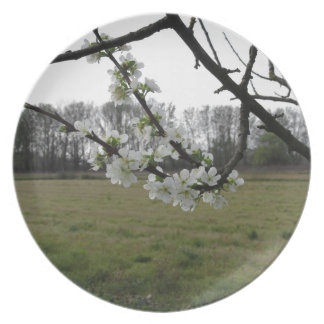 Blossoming plum . Flowering white tree in spring Plate