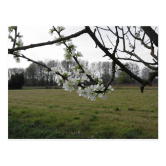 Blossoming plum . Flowering white tree in spring Postcard