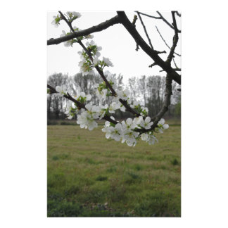 Blossoming plum . Flowering white tree in spring Stationery