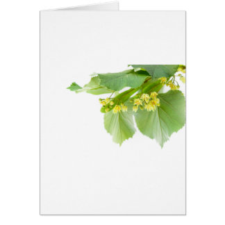 Blossoming twig of limetree or linden tree card