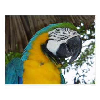 Blue and Gold Macaw parrot postcard