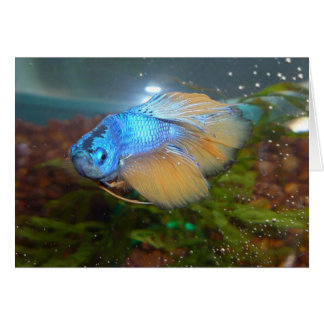 Blue and Gold Male Betta Fighting Fish Card