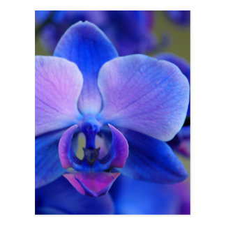 Blue and Pink Orchid Postcard