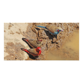Blue and Red Birds Photo Card Template
