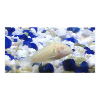 Blue and white pebbles and Albino cat fish Card