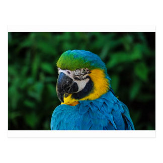 Blue and Yellow Bird Postcard