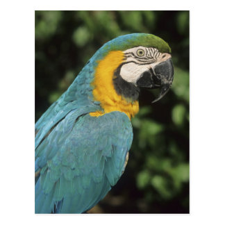 Blue and Yellow Macaw, Ara aurarana), Postcard