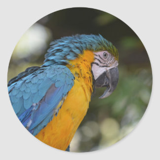 Blue and yellow macaw classic round sticker