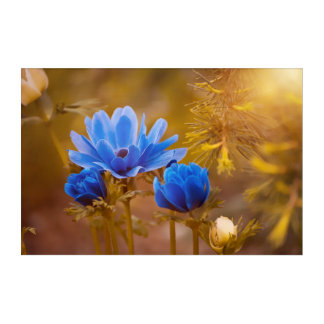 Blue Anemone Flower Blossoms Acrylic Wall Art