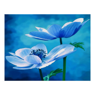Blue Anemone Flowers Poster
