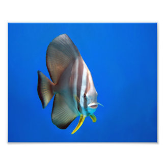 Blue Bat Fish Photo Print