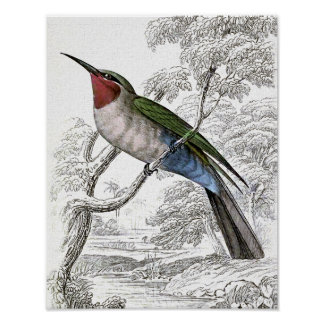 Blue-bellied Bee-Eater Vintage Illustration Poster