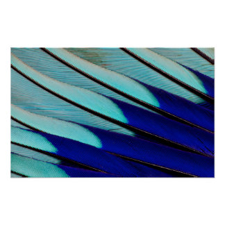 Blue-bellied Roller feathers Poster