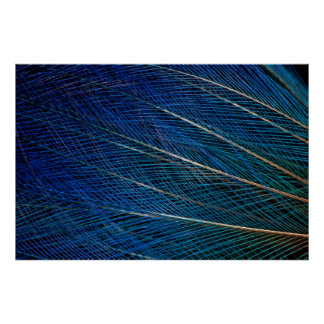 Blue Bird of Paradise feathers Poster