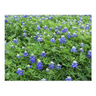 Blue Bonnets postcard