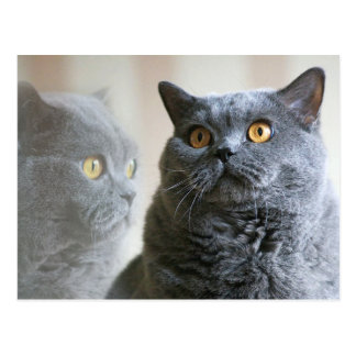 Blue British Shorthair with gold eyes Postcard