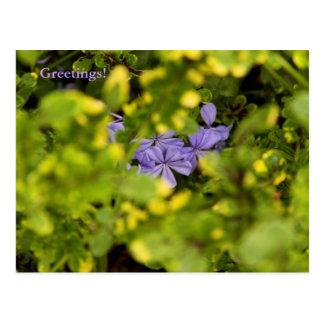 Blue Cape Plumbago Postcard