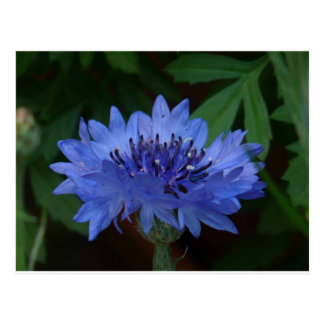 Blue Cornflower Postcard