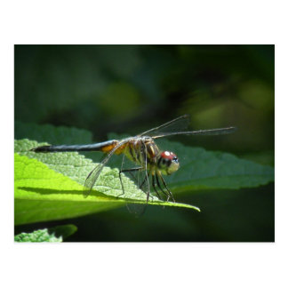 Blue Dasher Dragonfly Postcard