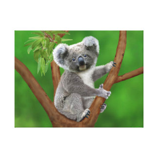 Blue-Eyed Baby Koala Bear Canvas Print