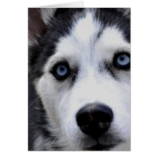 Blue Eyed Husky  Greeting Cards