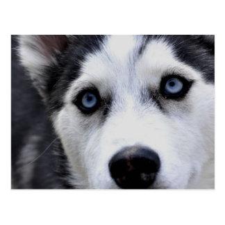 Blue Eyed Husky  Postcard