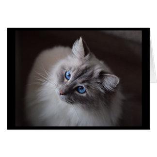 Blue eyed Ragdoll card