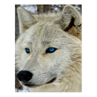 Blue Eyed White Wolf Postcard